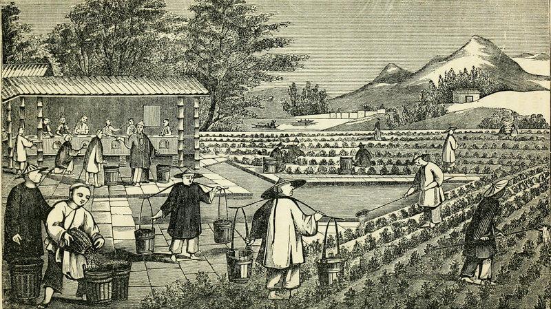 История чая Пуэр